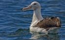 Noordelijke koningsalbatros - Northern Royal Albatross (Diomedea sanfordi).