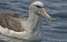 Salvins albatros - Salvin's Albatross (Thalassarche salvini)