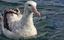 Grote albatros - Wandering Albatross (Diomedea exulans)